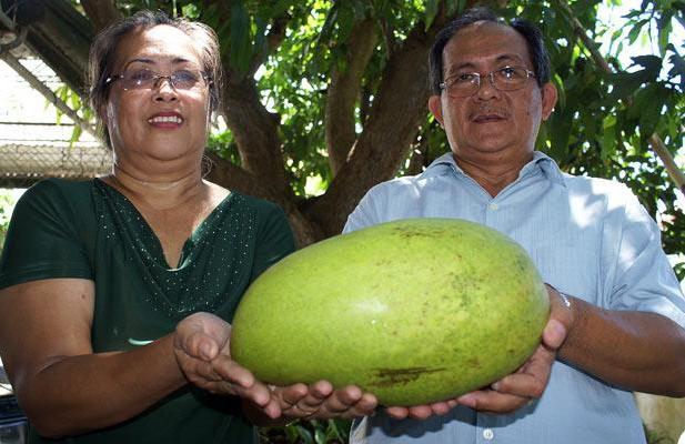 огромный манго